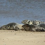 Seals near Waxham