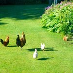 Chickens and red squirrel in garden