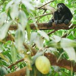 Howler monkey in a mango tree at Mauna Loa