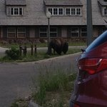 A Bison outside Cascade Lodge