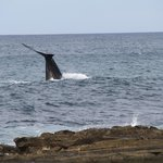 Southern Right Whale from the beach