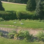 Balcony view, The swans resting!