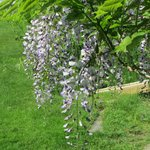 Wisteria at the Owen House