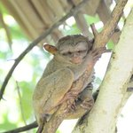 Tarsiers at conservation centre