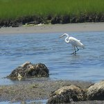 Great white heron fishing in the shallows