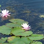 Water lilies on Lake Mocatek