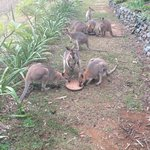Wallaby feeding time