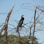 African Darters by the Ockovango