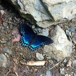 the Red Spotted Purple again