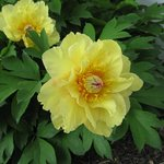Yellow Peonies at Deanna Rose