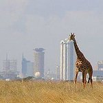 Elegant Giraffe in Nairobi National Park