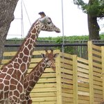 Take time to feed the giraffes until Labor Day 2013