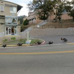 Wild turkey parade marching by the Guest House