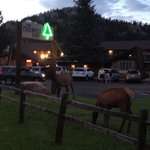 Elk grazing at the Inn , beautiful sight!