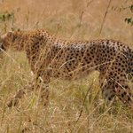 welcome by leopard family at masai maara