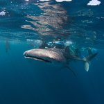 Whale shark of the day