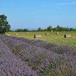 Lavender and corn fields