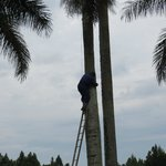 Man Trims Palm Tree