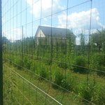 They are growing their own hops for future batches