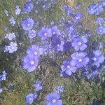 Blue Flax greats us each morning!