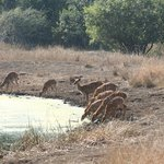 Nyala, at the water hole.