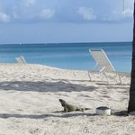Iguana Wandering outside on beach
