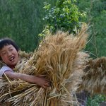 One of their kids help with carrying wheat