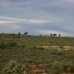 Brumbies outside of Broken Hill