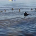 Swimming with the ducks at our campsite!