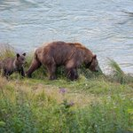 Grizzly bears strolling past the lodge