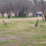 Kangaroos at side of Cottage