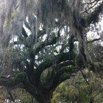 Big Savannah trees