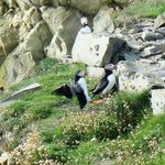 puffins on Sumburgh Head