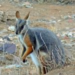 Yellow-footed wallaby