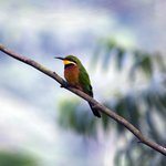 Bee eater - taken from camp balcony