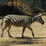 Is a zebra white with black stripes or black with white stripes?