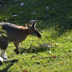 Red-necked wallaby that visited