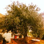 Beautiful olive tree outside apartment C