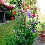 Sweet peas in the garden also freshly-picked and fragrant in our bedroom