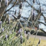 lavender in grounds