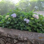 Beautiful blooming hydrangeas all over the place!
