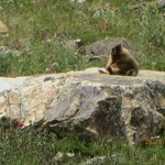 A Colony of Sunbathing Marmots at Horseshoe Bowl