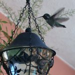 Male Costa's hummingbird on patio