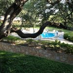 Awesome Post Oak in courtyard