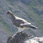 Ptarmigan seen near the Luib