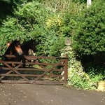 New Forest Ponies at the gate waiting for treats!
