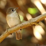Asian Brown Flycatcher , clicked this image from balcony