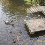 Some of the ducks