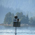 eagles by the Super 8 Sitka