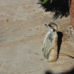 Rescued Meerkat checking out the guests